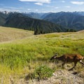 Black-tailed deer (Odocoileus hemionus columbianus) and a view of the Olympic Mountains from Hurricane Ridge.- Klahhane Ridge Trail + Sunrise Point
