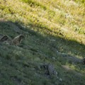Hoary marmots (Marmota caligata) along Klahhane Ridge.- Klahhane Ridge Trail + Sunrise Point