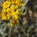 Flett's groundsel (Packera flettii).- Hurricane Hill Trail