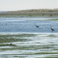 Great blue herons (Ardea herodias) at Dungeness Landing.- Dungeness Landing County Park
