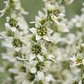 False hellebore, or corn lily (Caltha leptosepala).- Bellas Lakes