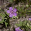 Sticky geranium (Geranium viscosissimum) is one of many mid-summer wildflowers found along the trail.- Hyndman Creek + Hyndman Basin Hike