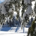 Trees bow under ice and snow in winter.- The Watchman Snowshoe