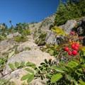 Sitka mountain ash (Sorbus sitchensis) along the trail.- Mount Ellinor via Upper Trailhead