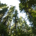 Old-growth forest of Douglas fir, western hemlock, and western redcedar.- Skokomish River, Staircase Rapids Loop Trail