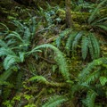 Western sword fern (Polystichum munitum) along Rapids Loop Trail.- Skokomish River, Staircase Rapids Loop Trail