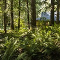 Western sword ferns dominate the forest floor next to the Staircase Ranger Station.- Staircase Campground