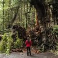 The Kalaloch Big Cedar Tree (third-largest in world).- Olympic National Park