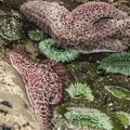 Giant green anemone (Anthopleura xanthogrammica) and purple sea stars (Pisaster ochraceus) at the Kalaloch Beach 4 tide pools.- Olympic National Park