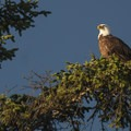 Bald eagle (Haliaeetus leucocephalus) on the Olympic Coast.- Olympic National Park