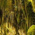 A moss-adorned bigleaf maple (Acer macrophyllum) along the Hall of Moss Trail in the Hoh Rain Forest.- Olympic National Park