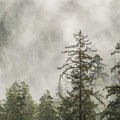Old-growth temperate rainforest alongside the Hoh River.- Olympic National Park