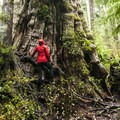 Hiker at the base of the Quinault Giant Western Redcedar (the world's largest).- Olympic National Park