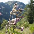 Wildflowers at Hurricane Ridge.- Olympic National Park