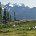 Mount Olympus (7,980 ft) and a herd of mountain goats (Oreamnos americanus) from the summit of Hurricane Hill (5,757 ft).- Olympic National Park