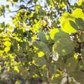 Greenleaf manzanita (Arctostaphylos patula).- Panorama Point via Oregon Trail