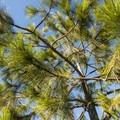 Juvenille ponderosa pine (Pinus ponderosa).- Panorama Point via Oregon Trail