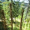 Stalks of bear grass (Xerophyllum tenax).- High Rock Lookout Tower Hike