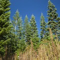 Mixed conifer forest of noble fir (Abies procera) and pacific silver fir (Abies amabilis).- High Rock Lookout Tower Hike