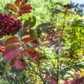 Sitka mountain ash (Sorbus sitchensis).- High Rock Lookout Tower Hike
