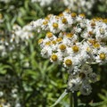 Pearly everlasting (Anaphalis margaritacea).- High Rock Lookout Tower Hike