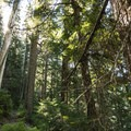 Old-growth forest en route to Bertha May and Granite Lakes.- Granite, Bertha May + Pothole Lakes