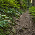Deer fern (Blechnum spicant) along the side of the trail en route to Bertha May Lake.- Granite, Bertha May + Pothole Lakes