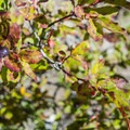 Black huckleberry (Vaccinium membranaceum).- Palisades Lakes Trail