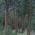 The patriarch ponderosa grove below Little Soldier Camp.- Middle Fork of the Salmon River - Overview