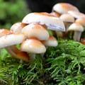 Clustered woodlover (Hypholoma fasciculare).- Mike Miller Park
