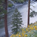 Arrowleaf balsamroot above the tail waves of Ski Jump Rapid.- Middle Fork of the Salmon River - Day 3