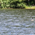Canada geese (Branta canadensis). - Packer Lake Day Use Area