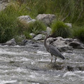 Wildlife is abundant on the Rogue.- Rogue River: Grave Creek to Foster Bar