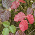Poison oak (generally green) changes color in the fall.- Rogue River: Grave Creek to Foster Bar