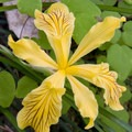 Golden iris (Iris innominata).- Rogue River: Grave Creek to Foster Bar