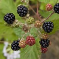 Blackberries grow wild along much of the river.- Rogue River: Grave Creek to Foster Bar