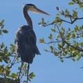 Blue Heron.- Rockville Hills Regional Park
