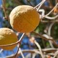 Buckeye nuts (Aesculus glabra).- Rockville Hills Regional Park