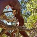 Madrone (Arbutus menziesii).- Rockville Hills Regional Park