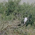 White-tailed kite.- Lynch Canyon Open Space