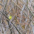 Finch in the trees.- Lynch Canyon Open Space