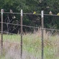 Finches line up on the barbed wire.- Lynch Canyon Open Space