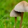 Mower's mushroom (Panaeolina foenisecii).- Lynch Canyon Open Space