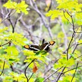 An Arizona sister butterfly alights upon the greenery in Saddle Mountain Pass.- Saddle Mountain Trail