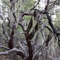 Spanish moss and madrone in a Southern Oregon forest.- Rogue River Trail - Day 1