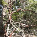 Madrone tree on a forested ridge.- Rogue River Trail - Day 1