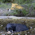 One tired dog.- Rogue River Trail – Day 3