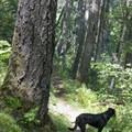 A faithful hiking companion leads the way to the end of the Rogue River Trail.- Rogue River Trail – Day 4
