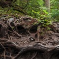 An incredible tangle of roots along the trail to Heather Lake.- Heather Lake