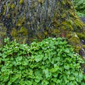 Bunchberry (Cornus unalaschkensis).- Heather Lake